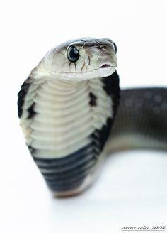 Kingdom Animalia, Monocled Cobra (Naja kaouthia) (by Bullter) Les Reptiles, Cute Reptiles, Reptiles And Amphibians, Beautiful Creatures, Animals Beautiful, Animals And Pets, Cute Animals, All About Snakes, Cute Snake