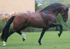 PRE, spanish horses.