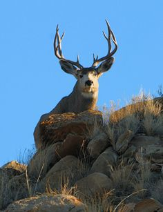 A mule deer buck in Utah