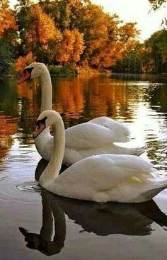 "Zhui Star Full Square Diamond DIY Diamond Painting Photo Custom ""Swan in the water"" Embroidery Cross Stitch Mosaic Decor Beautiful Swan, Beautiful Birds, Animals Beautiful, Beautiful Places, Swans, Bird Pictures, Animal Pictures, River Pictures, Animals And Pets"