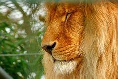 Lion, Eläintarha, Petoeläin, Kissa