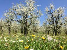 Plum orchards in April/vergers de pruniers en avril, Monteton, Lot-et-Garonne