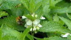 Příjemná, planě rostoucí a velmi rozšířená bylinka, která má mnoho léčivých účinků, to je hluchavka bílá. Je zdánlivě podobná kopřivě, ale o mnoho jemnější, s bílými kvítky, hezky vykrajovanými lístky Herbs, Plants, Fitness, Herb, Plant, Planets, Medicinal Plants