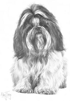 SHIH TZU .  This is what Lucy would look like if I let her hair grow.