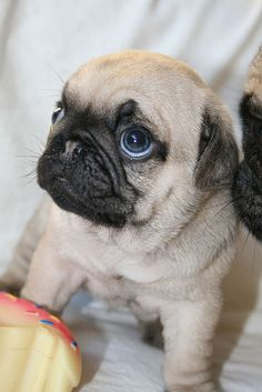 cutest pug puppy ever by pugluv2009, via Flickr