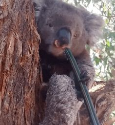 This Koala was too shy to drink from the bowl which a lady offered him so she gave him a trickling hose from which he happily drank.:):) For the love of animals. Pass it on.  READ THE STORY ATTACHED!!