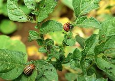 Au potager : 6 solutions contre les ravageurs - great ideas for natural insect repellents in the potager (in French) Permaculture Design, Green Tips, Insect Repellent, Grow Your Own Food, Lawn And Garden, Agriculture, Vegetable Garden, Gardening Tips, Herbs