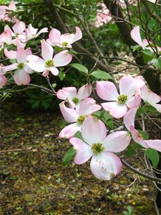 The woods in front of my grandmother's house were full of azaleas and dogwoods... I'd love a dogwood in my yard, but my favorite place to see them is growing wild...