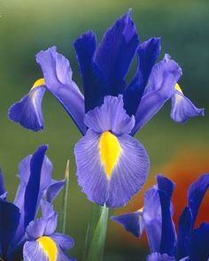 Dutch Iris: these have been the most successful cut flowers I've grown this year!