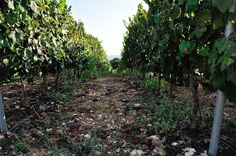 Salha is situated nearby to Yir'on. Vineyard, Places, Lugares