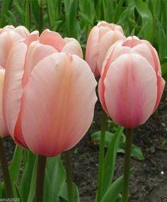 "10 Giant Tulip Bulbs,Darwin Hybrid ""SALMON IMPRESSION ""Huge flowers,Now shipping"