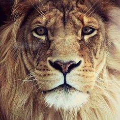 Aslan mı dediniz? #galatasaray #cimbom #gs #lion by ipektunna