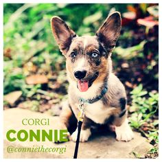 This is the lovely Connie and he is a Blue Merle Cardigan Welsh Corgi! What a gorgeous and unique colouring. #pet #dog #bluemerlecardiganwelshcorgi