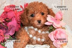 Poodle Puppies For Sale In Delhi At Best Price