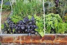 30082016 Tummaa ja vaaleaa basilikaa, ruohosipulia ja salaattia.
