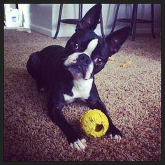 #bostonterrier #dog