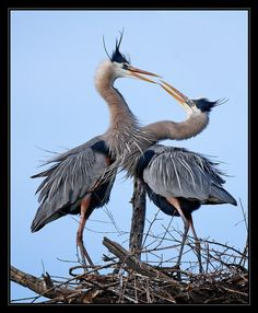 Blue Herons by Linh Dinh