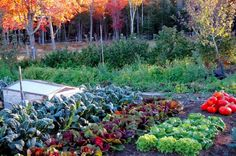 Just because the weather is getting cooler and the days shorter doesn't mean your garden is completely done! Common root crops can be planted now and harvested just in time for the first fallen leaves. Of course, check your average first frost date and plan accordingly for that. Beets Beets are delicious, nutritious, and taste [...]
