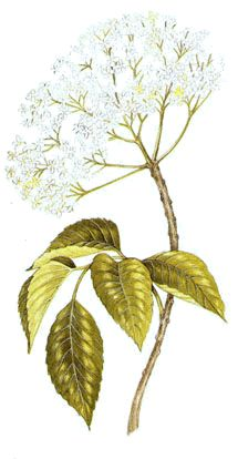 Operagastro > Ricette coi fiori: Marmellata di uva spina e fiori di sambuco.