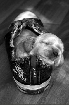 Pup asleep in a shoe