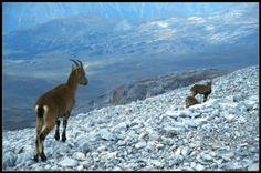 Dağ Keçileri MUNZUR...