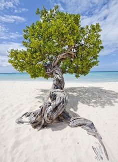 Divi Tree on Eagle Beach, Aruba, Caribbean.  Photographer Unknown