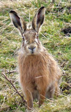 CABINET OF CURIOSITIES: Close encounters with hares