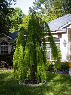 Weeping trees have a special fascination in the garden and the Cascade Falls Bald Cypress is one of the best. These graceful plants with their pendulous branche Bald Cypress Tree, Cypress Trees, Deciduous Trees, Trees And Shrubs, Garden Pond, Indoor Garden, Weeping Trees, Cascade Falls, Natural Pond