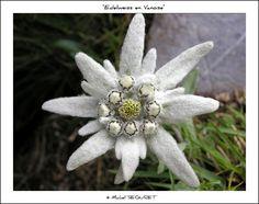 Edelweiss Tattoo, White Flowers, Beautiful Flowers, Foto Art, Real Beauty, Perennials, Bouquet, Planting Flowers, Floral Arrangements