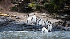 These King penguins are about to take a refreshing dive in Antarctic waters. King Penguin, Follow The Leader, Diving, Wildlife, Animals, Penguins, Animales, Scuba Diving, Animaux