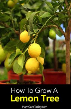 Meyer lemon tree care a citrus cross between an orange and lemon simple fruit tree for homeowners to grow. Follow these tips for a successful tree.