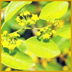 #Christdorn, eine robuste #Kübelpflanze mit buschigem Wuchs.  Der Christdorn hat einen sehr buschigen Wuchs, unter guten Bedingungen kann die Pflanze 3 m groß werden, die Zweige haben viele Dornen.  http://www.gartenschlumpf.de/christdorn/
