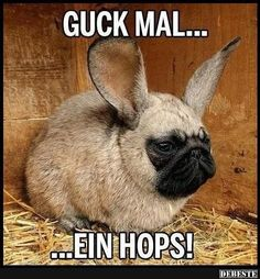 By cliffmama in animals : Chinchilla pug? Or Pug chinchilia? Or the Easter pug? Funny Pictures For Kids, Funny Kids, Pug Pictures, Dog Photos, Photoshopped Animals, Funny Animals, Cute Animals, Animal Mashups, Cutest Babies Ever
