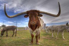 All hail the longhorn. texasgotitright.com