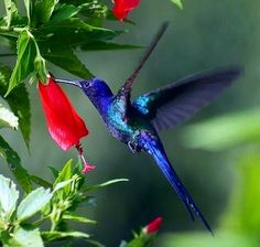 Swallow-tailed Hummingbird via Bird's Eye View at www.Facebook.com/aBirdsEyeViewForYou