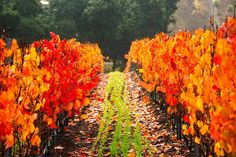 Rain is definitely here and the Fall colors keep getting prettier. A wonderful time of the year up here on DAOU Mountain. #pasorobles #daou #daouvineyards #wine #vines