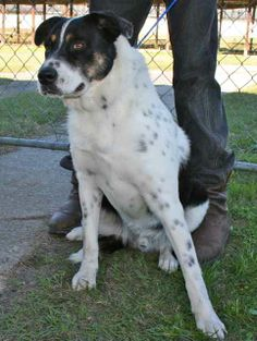 Austin is a 1 year old male Cattle Dog cross, about 55 pounds. He had just arrived at the shelter when we took his pictures and was scared but friendly. He was said to have had an altercation with someones chickens. He seems to be a very sweet, well...