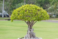 13 Types of Bonsai Trees (by Style and Shape Plus Pictures) Bonsai Tree Types, Bonsai Trees, Bonsai Art, Replant, Bonsai Garden, Seeds, Home And Garden, Shapes, Gardening