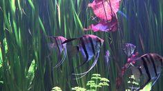 Lovely Aquarium 2 HD 1080p - Video Backgrounds