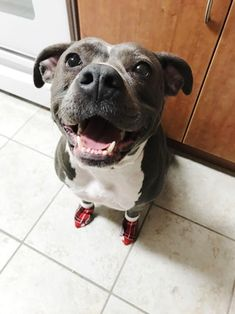 Eliza got socks for the first time today. : pitbulls