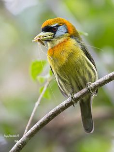 Red-headed Barbet (male and female) - Eubucco bourcierii