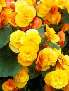 Winter-flowering begonia - Winter Flowers for Indoor Gardens on HGTV Winter Plants, Winter Flowers, Winter Garden, Yellow Flowers, Beautiful Flowers, Exotic Flowers, Tuberous Begonia, Herb Garden Kit, Mellow Yellow