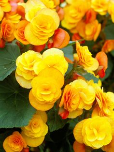 Begonia perfect for brightening up any Winter Garden