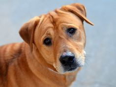 TO BE DESTROYED - 11/10/14 Brooklyn Center -P  My name is SCRAPPY aka GALILEO. My Animal ID # is A1018999. I am a neutered male tan labrador retr mix. The shelter thinks I am about 4 YEARS old.  I came in the shelter as a STRAY on 10/28/2014 from NY 11214, owner surrender reason stated was STRAY.