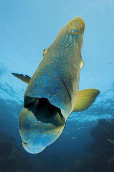 "thelovelyseas: "" A humphead wrasse on Opal Reef by David Doubilet "" Underwater Creatures, Underwater Life, Ocean Creatures, Beneath The Sea, Under The Sea, Great Barrier Reef, Sea Aquarium, Baby Sea Turtles, Exotic Pets"