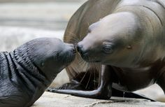 A sea lion and her pup. Photo: DIETER NAGL/AFP/Getty Images