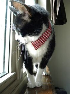 Belrossa: DIY: Dapper Pet Collar....Simply cut off the cuff of an old shirt & button it around the pet (the ones with snaps are great) for a collar....Great idea to recycle an old red shirt for Christmas!