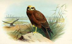 aves de las islas de Inglaterra vol,1