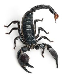 Coyote Peterson Fans! Let's learn Scorpion Facts . Be brave. Education is the best.  #Scorpion