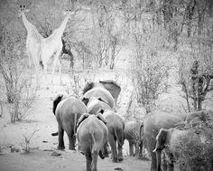 'Elephants & Giraffe at Victoria Falls National Park, Zimbabwe' by maryannwest Giraffe, Elephants, Photography Tools, Victoria Falls, Zimbabwe, National Parks, Africa, Ann, Photos